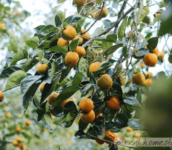 Thu Đà lạt không thể bỏ qua mùa Hồng giòn trĩu quả